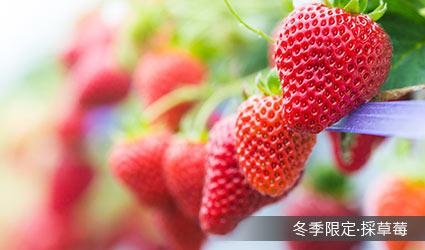 冬季限定‧採草莓