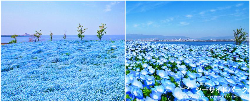 大阪百萬藍色粉蝶花