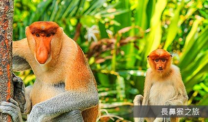 長鼻猴之旅