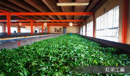 斯里蘭卡_紅茶工廠